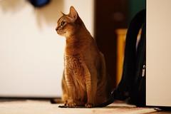 Lizzie posing 😼 (DizzieMizzieLizzie) Tags: abyssinian aby lizzie dizziemizzielizzie portrait cat feline gato gatto katt katze kot meow pisica sony neko gatos chat fe ilce ilce7m3 a7iii pose classic golden bokeh dof animal t f14 85mm gm 2019 wood wall floor posing