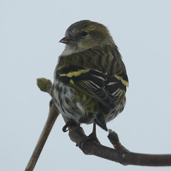 Eurasian siskin (Moni'cam ツ) Tags: siskin eurasiansiskin sundayanimals bird