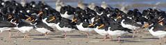 K32P7511e Oystercatcher, Titchwell Beach, February 2019 (bobchappell55) Tags: titchwell marsh norfolk wild bird wildlife nature wader oystercatcher haematopusostralegus