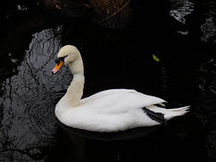 Pollution Kills (Steve Taylor (Photography)) Tags: sixpackrings sixpackyokes swan bird black orange white sad plastic newzealand nz southisland canterbury christchurch water lake reflection ripple winter pollution