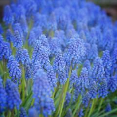 Muscari Flowers (davepickettphotographer) Tags: grape muscari hyacinth cambridgeshire uk closup flowers flower spring time inflower