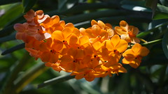2019-02-11_12-31-19_ILCE-7M2_DSC063211_Kiri (miguel.discart) Tags: 2019 240mm chiangmai fe24240mmf3563oss fleurs flowers focallength240mm focallengthin35mmformat240mm holiday ilce7m2 iso400 sony sonyilce7m2 sonyilce7m2fe24240mmf3563oss thailand thailande travel vacances voyage