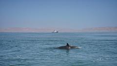 Dolphins dance (Chemose) Tags: ocean océan pacifique pacific eau water dauphin duo dolfin bateau boat côte coast pérou peru avril april sony ilce7m2 alpha7ii