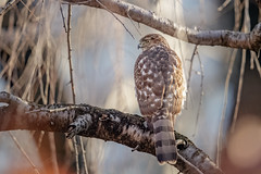 Cooper's Hawk (wn_j) Tags: birds birding birdsofprey wildlife wildanimals wildlifephotography raptors raptor nature naturephotography canon canon1dxii canon500mm