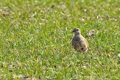 Dotterel (Clare_leeloo) Tags: dotterel birds wildlife hampshire nature