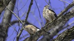 Épervier de Cooper /Cooper's Hawk (richard.hebert68) Tags: nikon z7 300mmf4pf epervier bleu arbre forêts domainemaizerets québec canada