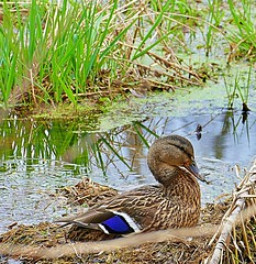 A hen mallard nesting (Eat With Your Eyez) Tags: nature animal hen mallard nesting nest swamp plant plants green pond water leaf park medina county parks ohio spring warm day sunshine cabin fever panasonic fz1000