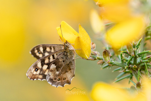 Speckled Wood | Pararge aegeria