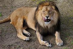 The lion king (DirkVandeVelde ( very busy)) Tags: zoo zoogdieren europa europ europe belgie belgica belgium belgique buiten biologie antwerpen antwerp anvers animalia animal mammalia roofdieren leeuw fauna carnivora vleeseter felidae chordata pantheraleo outdoor dieren