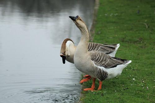 The Same Geese