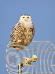 Am I On Your Radar? (Doug Scobel) Tags: snowy owl bubo scandiacus saginaw bay fish point michigan wild bird wildlife