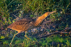 the look down (pstrock1) Tags: sky morning goldenhour wild wildlife fly nature water bittern amerian beauty field bird wings marsh