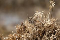 Song Sparrow in the brush....6O3A1783CR2A (dklaughman) Tags: sparrow bombayhookwildliferefuge bombayhooknwr delaware bird