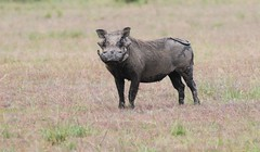 Common Warthog (douwesvincent) Tags: nature uganda oeganda africa world earth eco natural outdoor safari wild open holiday trip birding explore green flora fauna life