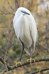 Little Egret (AndyNeal) Tags: animal wildlife nature bird littleegret egret wader essex