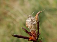 Dolycoris baccarum (rockwolf) Tags: dolycorisbaccarum punaise hairyshieldbug hemiptera pentatomidae heteroptera insect wollertonwetlands shropshire rockwolf