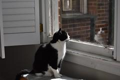 Reflection (rootcrop54) Tags: tina tiny female tuxedo cat sunny sunshine window catenclosure reflection neko macska kedi 猫 kočka kissa γάτα köttur kucing gatto 고양이 kaķis katė katt katze katzen kot кошка mačka gatos maček kitteh chat ネコ cc100 cc500