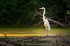 Great Egret (Mark Polson) Tags: dicks minnetonka egret summer great bird animal