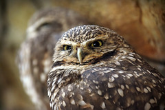 The Pair that Stare (MTSOfan) Tags: owls burrowingowls epz eyes stare