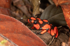 _MG_1690 2 (luis perez) Tags: mecana orquideas orchids insitu expediciones pacifico colombia