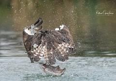 Male Osprey 28(10) Horn Mill (Rutland Osprey Images) Tags: osprey bird horn mill rivergwash rutland wildlife photography