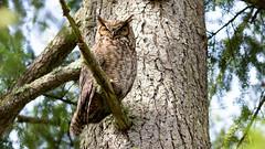 Great Horned Owl (Gary R Rogers) Tags: bird greathornedowl tree owl dawsoncreek branch