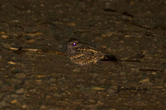 Fiery-necked Nightjar,Satara, Kruger National Park, Jan 2019 (roelofvdb) Tags: 2019 405 date fieryneckednightjar january knp nightjar nightjarfierynecked place satara southernafricanbirds year