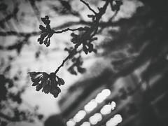 夜桜 (Jon-Fū, the写真machine) Tags: jonfu olympus omd em5markii em5ii em5mkii em5mk2 em5mark2 オリンパス mirrorless mirrorlesscamera microfourthirds micro43 m43 mft μft マイクロフォーサーズ ミラーレス polarr nikcollection japan 日本 nihon nippon ジャパン ジパング japón जापान japão xapón asia アジア asian orient oriental aichi 愛知 愛知県 chubu chuubu 中部 中部地方 nagoya 名古屋 blackandwhite bw bnw monochrome monochromatic grayscale greyscale colorless モノクロ モノクローム 白黒 黒白 outdoors 野外 nature 自然 plant plants 植物 flora sakura cherryblossoms cherryblossom さくら 桜 hanami 花見