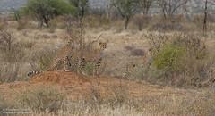 Cheetah family - Acinonyx jubatus (rosebudl1959) Tags: 2019 kenya cheetah elephantbedroomcamp samburu