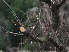 Plum blossoms (murozo) Tags: plum blossom tree yurihonjo akita japan spring 梅 木 花 春 由利本荘 秋田 日本