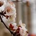 Felsenbirnenblüten (02)