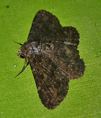 rocky chocky moth Hypomecis sp Ennominae Geometridae Airlie Beach Rainforest P1020773 (Steve & Alison1) Tags: rocky chocky moth hypomecis sp ennominae geometridae airlie beach rainforest