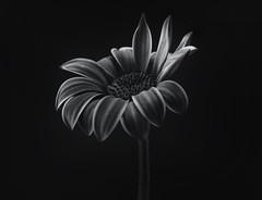 osteospermum (Funchye) Tags: daisy osteospermum flower blomst nikon d750 105mm monochrome