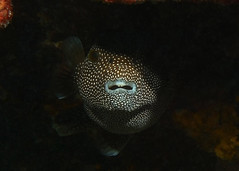 shadow veil (BarryFackler) Tags: fish vertebrate creature animal being marinelife seacreature organism life fauna kona nature sealife reef shadow arothronmeleagris spottedpuffer guineafowlpuffer oopuhue keke marine ameleagris puffer guineafowlpufferfish spottedpufferfish pufferfish 2019 scuba sealifecamera darkness sea southkona sandwichislands saltwater westhawaii face water hawaii hawaiiisland hawaiicounty honaunau hawaiidiving honaunaubay hawaiianislands wildlife dark marinebiology marineecology marineecosystem konacoast konadiving barryfackler barronfackler bigisland bay biology bigislanddiving zoology coralreef diving diver dive aquatic ecology ecosystem tropical undersea underwater island outdoor pacificocean ocean polynesia pacific