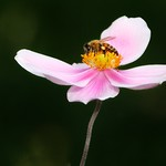 Brampton Ontario - Canada - Alderlea Mansion  - Garden- Flower Bee thumbnail