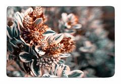 False Colour Hebe (Alex . Wendes) Tags: hebe macro plant plantmacro flowermacro falsecolour exposurex4 alienskin lensbaby lensbabycomposor sweet35 sweet35optic
