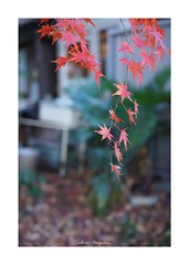 2018/12/24 - 9/24 photo by shin ikegami. - SONY ILCE‑7M2 / Carl Zeiss C Sonnar T* 1.5/50 ZM (shin ikegami) Tags: 紅葉 macro マクロ 井の頭公園 吉祥寺 winter 冬 sony ilce7m2 sonyilce7m2 a7ii 50mm carlzeiss sonnar csonnar50mmf15 tokyo sonycamera photo photographer 単焦点 iso800 ndfilter light shadow 自然 nature 玉ボケ bokeh depthoffield naturephotography art photography japan earth asia