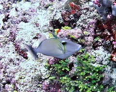 Sufflamen bursa (kmlk2000) Tags: maldives vacation sea ocean sealife sun blue underwater fish poisson beach reef