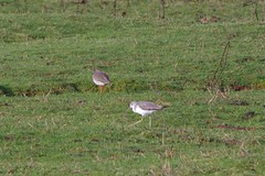 Redshank and Greenshank (Derek Morgan Photos) Tags: devon starcross redshank greenshank
