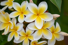 Yellow Fever (Rushay) Tags: flower backgrounds spring plant yellow petals nature portelizabeth southafrica