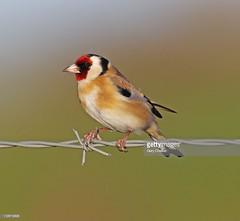 Goldfinch (Gary Chalker, Thanks for over 4,000,000. views) Tags: bird goldfinch finch pentax pentaxk3ii k3ii pentaxfa600mmf4edif fa600mmf4edif fa600mm 600mm