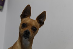 Lucas (Riebling Photograph) Tags: perros animales chihuahua