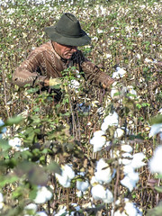 Alf 0002 - 0813 (Alf Ribeiro) Tags: agribusiness agriculture brazil brazilian cotton flower occupation rural work worker agricultural countryside crop cultivated farm farming farmland fiber field fluffy grow growing growth hand harvest harvesting industry job landscape natural nature neat new organic picking plant production profit rows scene scenery sky soft softness south southern textile white