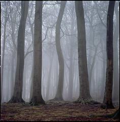 fünf (steve-jack) Tags: hasselblad 501cm 150mm kodak ektar 100 film 120 6x6 medium format trees fog mist woodland woods beech tetenal c41 kit epson v500