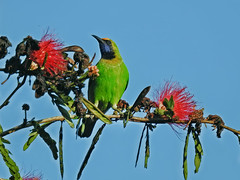 Golden fronted leafbird ! (Lopamudra !) Tags: lopamudra lopamudrabarman lopa goldenfrontedleafbird leafbird nature jayanti forest duars dooars westbengal india colour spring springtime color colours colourful beauty beautiful bird