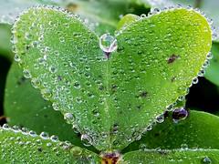 AMOR POR EL AGUA (Pedro Muñoz Sánchez) Tags: macro gotas drops agua water love trebol nature national corazón heart