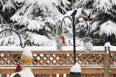 Alfresco dining in the backyard (karma (Karen)) Tags: baltimore maryland home backyard birds cardinals fences feeders snow hff
