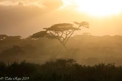Ndutu Serengeti and Ngorongoro Safari 2019 (taharaja) Tags: fox ngorongoro seronera migration birds lakemanyara impala wildebeast vultures ndutu hunting jackal tribal wildebeest giraffe lions buffalo crater greatmigration nationalpark capebuffalo cheetah eagles zebra elephant wildlife gazelle warthogs masai rhino tanzania leopard mara serengeti hyena arusharegion tz