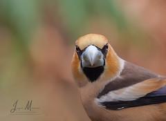The look. (JurgenMaassen) Tags: coccothraustescoccothraustes appelvink kernbeiser hawfinch birding birds nature vogels lumix panasonic dcg9 leicadg100400f4063