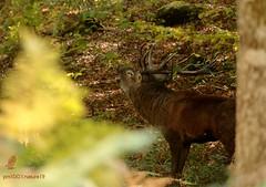 Le maître des lieux ! (pm100%nature19) Tags: auvergne cerf cervidés brame2018 mammifères exploredu120319